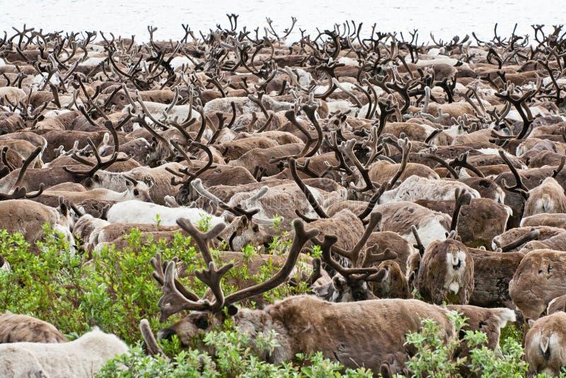 A herd of reindeer royalty free stock photos