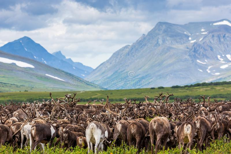 Herd of reindeer in background of mountains. Herd of reindeer in the background of mountains, Yamal royalty free stock image
