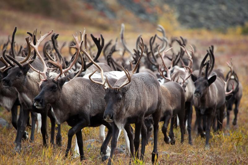 A herd of reindeer in fall. Kamchatka. Russia royalty free stock image