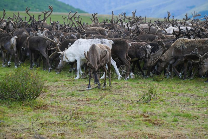 A herd of reindeer, cloudy August day. Yamal, Russia royalty free stock image