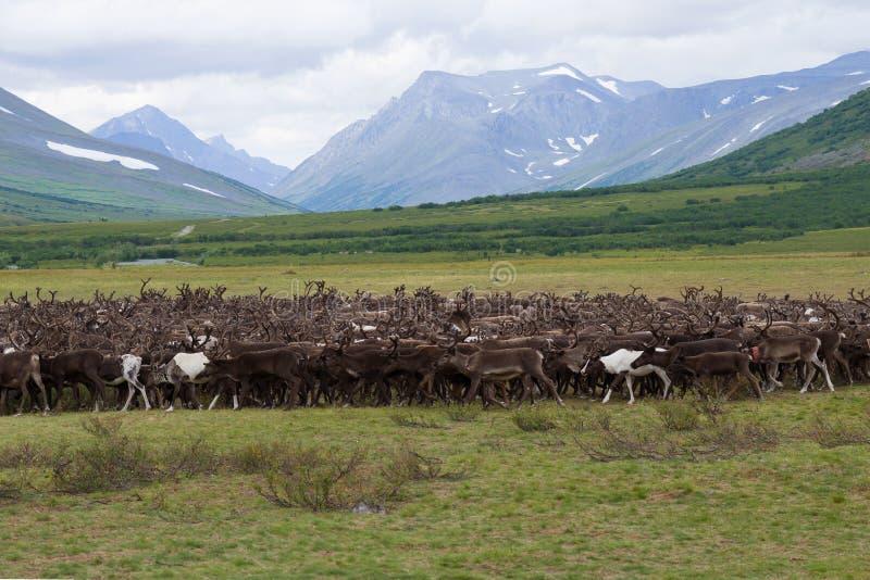 A herd of reindeer in the foothills of the Polar Urals. Russia stock image