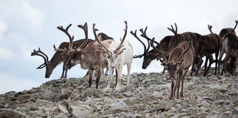 Herd of reindeer stock photography