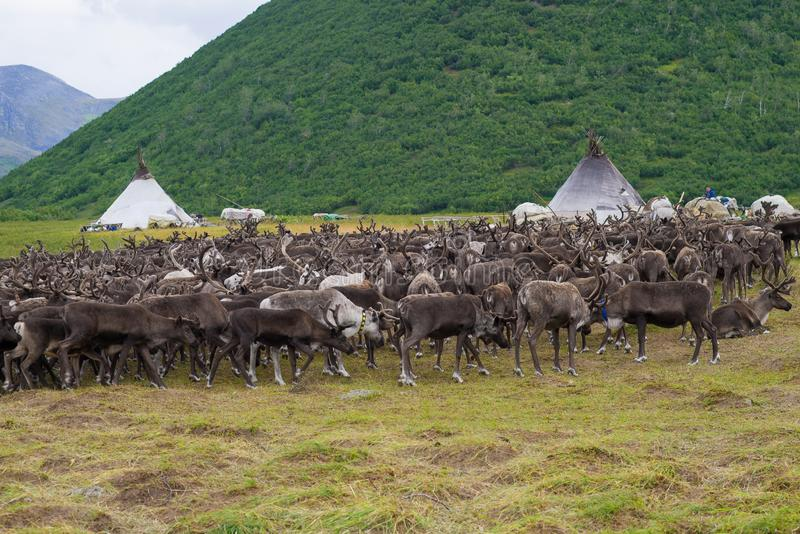 A herd of reindeer at the khant-reindeer herders camp. Yamal stock image