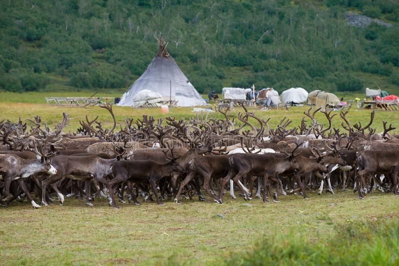A herd of reindeer passes a Khanty-reindeer herders camp. Yamal, Russia stock images