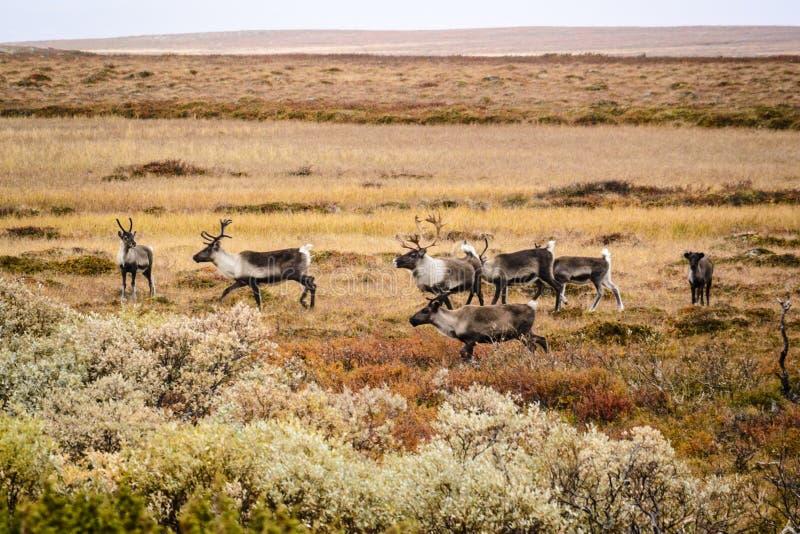 Herd of reindeer, Sweden stock photos