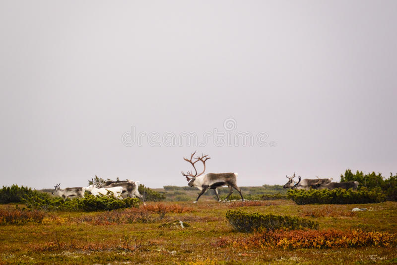 Herd of reindeer on Swedish tundra. Herd of reindeer walking across tundra on fall day in Sweden royalty free stock image