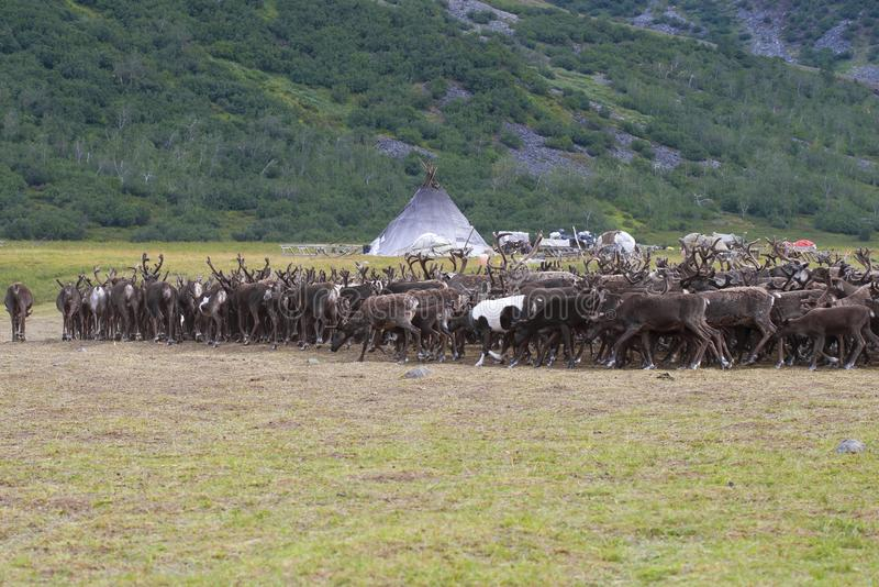 The herd of reindeers approaches a settlement of Khanty reindeer breeders. Yamal, Russia. The herd of reindeers approaches a settlement of Khanty reindeer royalty free stock photography