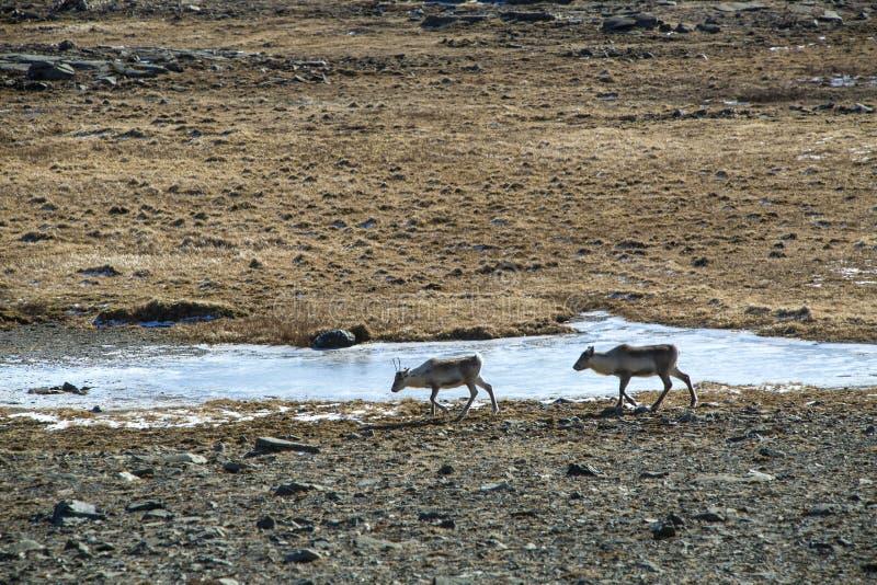 Herd of reindeers in Iceland stock image