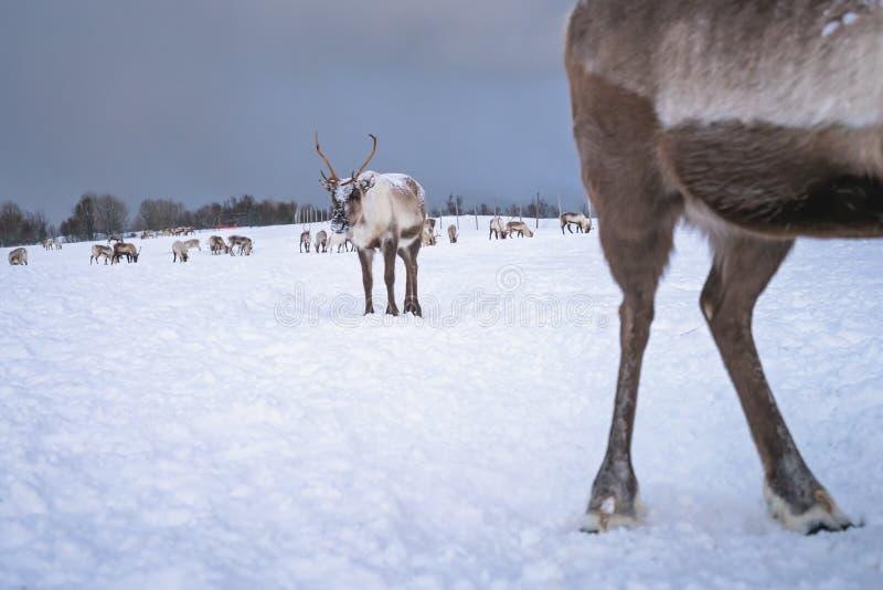 Herd of reindeers in winter stock images