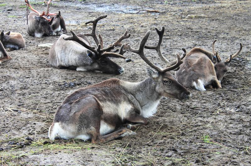 Herd of reindeers resting on the ground stock photo