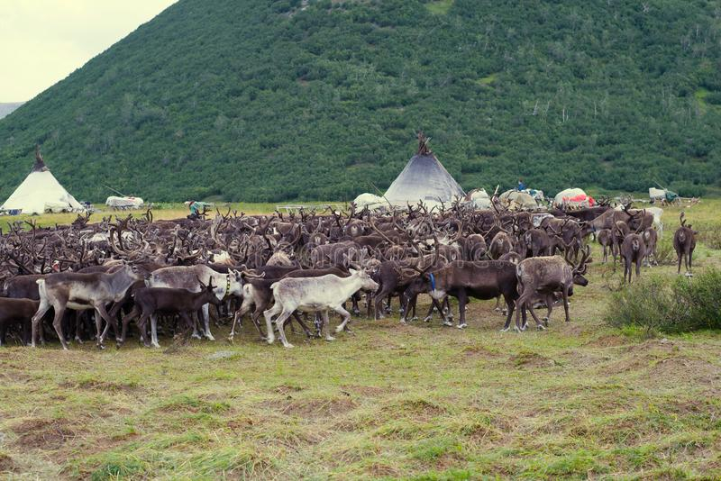 Herd of reindeers at a settlement of nomads reindeer breeders. Yamal royalty free stock photography