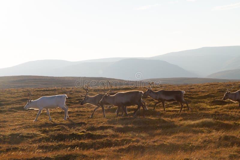 Herd of reindeers walking in wilderness stock photo
