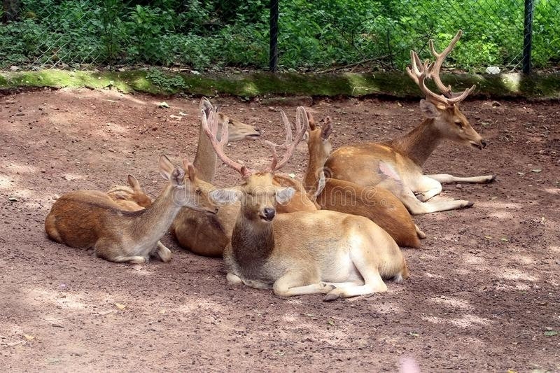 Herd of Relaxing Deers royalty free stock image