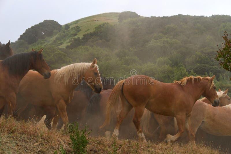 Herd of running horses in early morning light stock photo