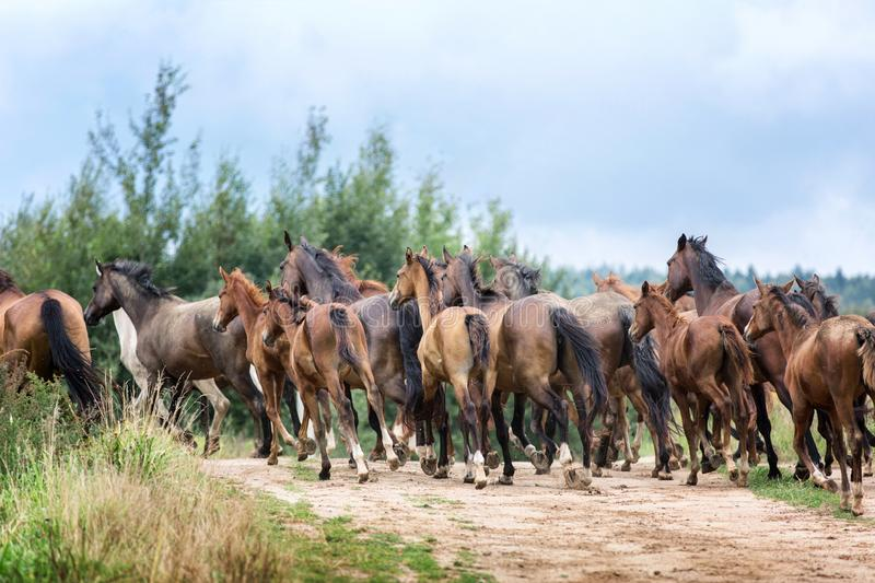 Herd of running horses royalty free stock image