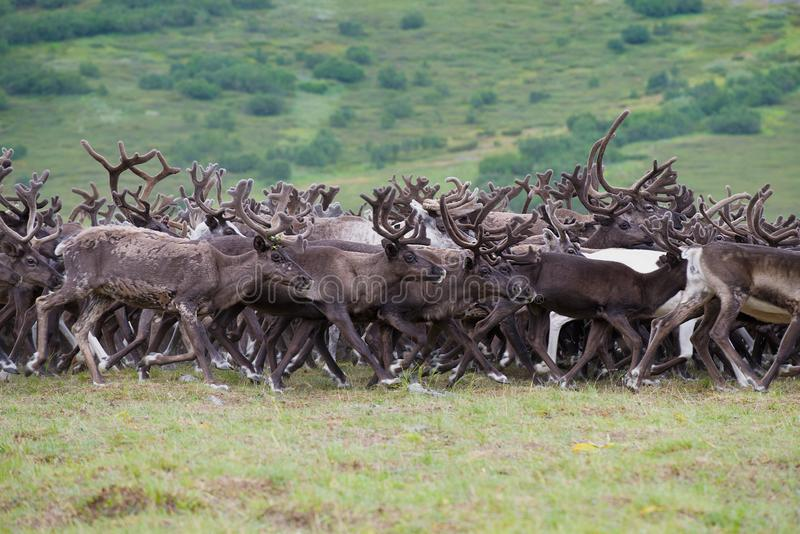 A herd of running reindeers. Yamal, Russia royalty free stock image