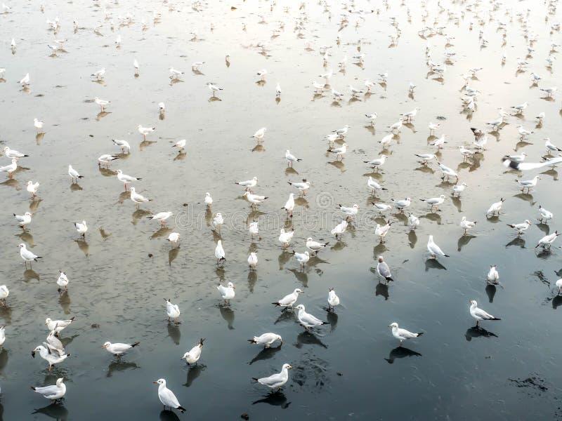 Herd of seagulls, laridae bird in the water.  stock image