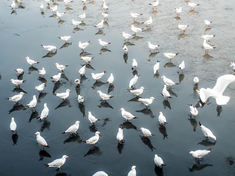 Herd of seagulls, laridae bird in the water.  royalty free stock photo