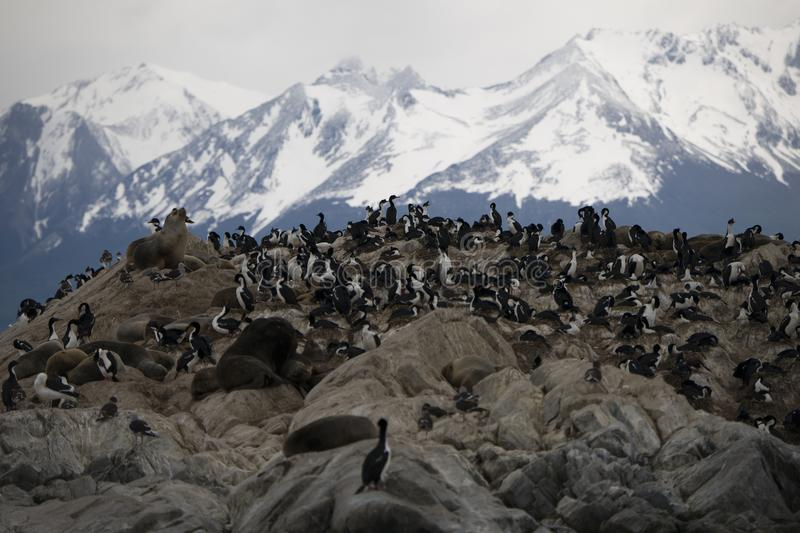 Herd of seals lounging together with migratory birds in Antarctica. A herd of seals lounging together with migratory birds in Antarctica royalty free stock photography