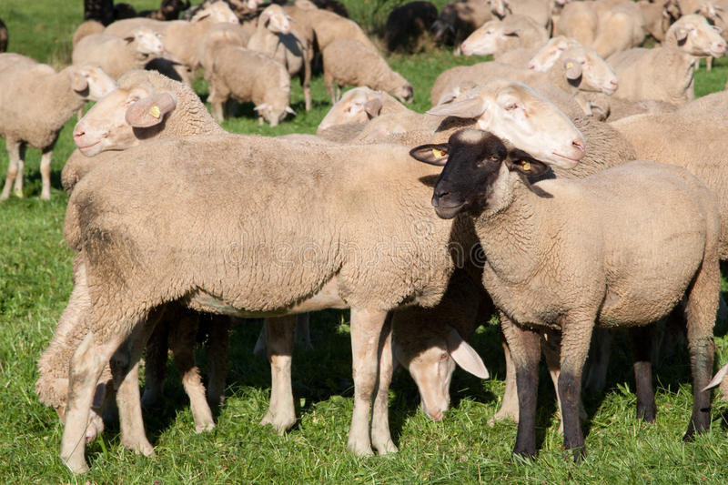 Download Herd of sheep stock image. Image of agriculture, crop - 26657889