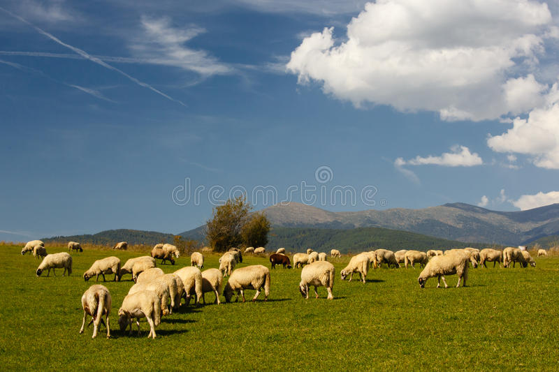 Download Herd of sheep stock photo. Image of grass, field, outdoors - 27241618