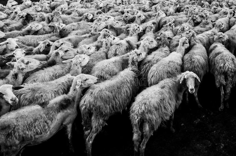 Herd Of Sheep Free Public Domain Cc0 Image
