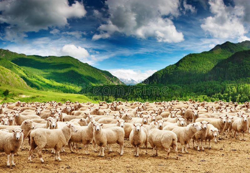 Download Herd of sheep stock photo. Image of grazing, farm, environment - 8464810