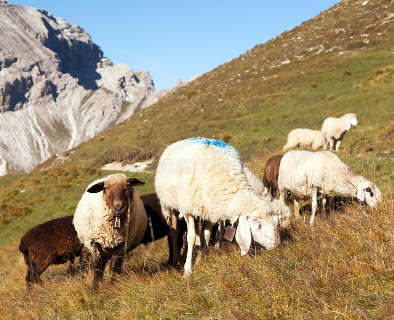 Herd of sheep in alps. Dolomites mountains, ovis aries, sheep is typical farm animal on mountains royalty free stock images