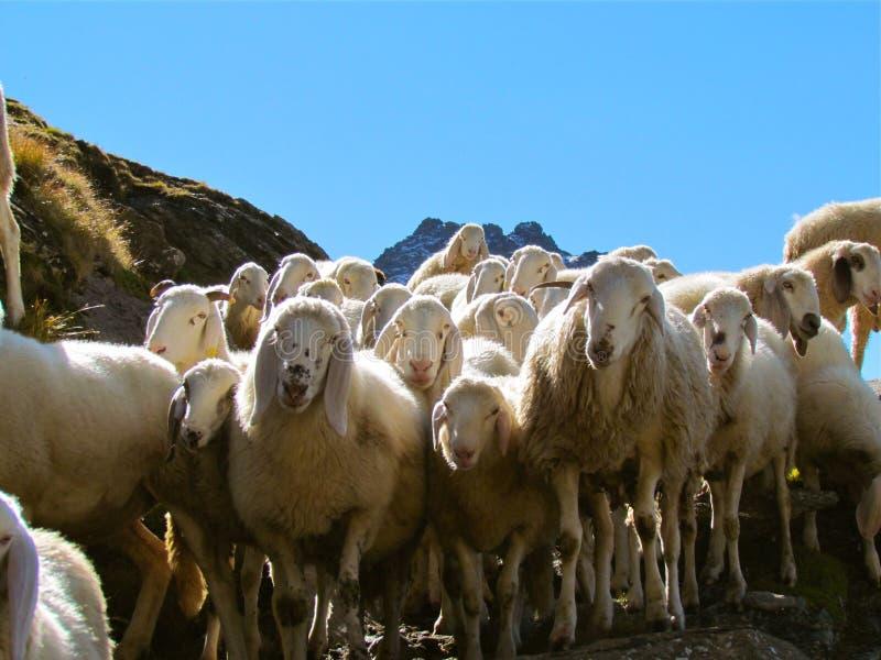 Herd, Sheep, Cow Goat Family, Livestock Free Public Domain Cc0 Image