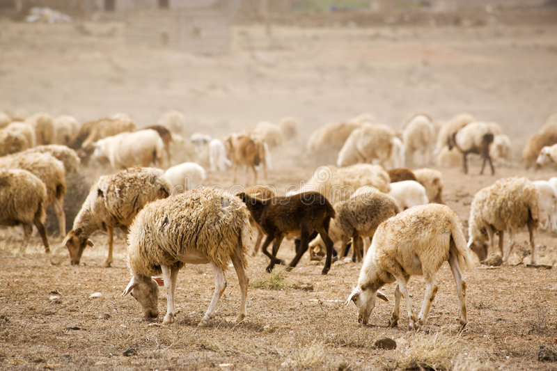 Herd of sheep on dry land stock photos