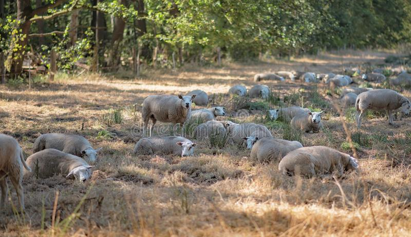 Herd of sheep in forest meadow. royalty free stock photo