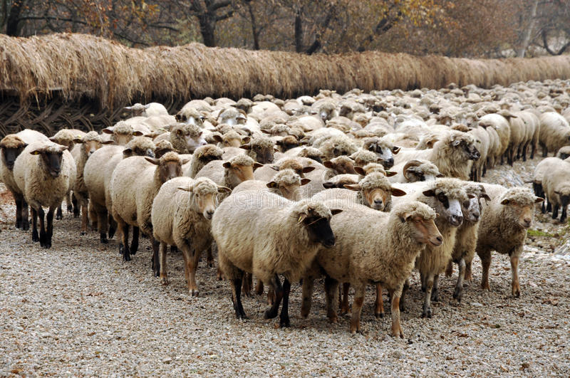 Herd of sheep gathering royalty free stock photography