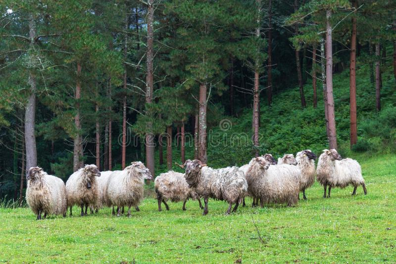 Herd sheep grass green spain stock image