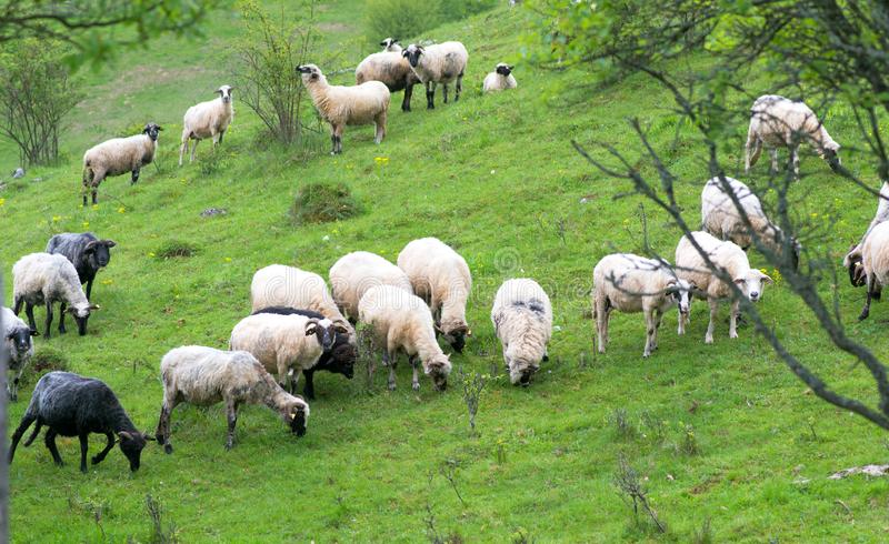 Herd of sheep graze on green pasture in the mountains. In summer royalty free stock images