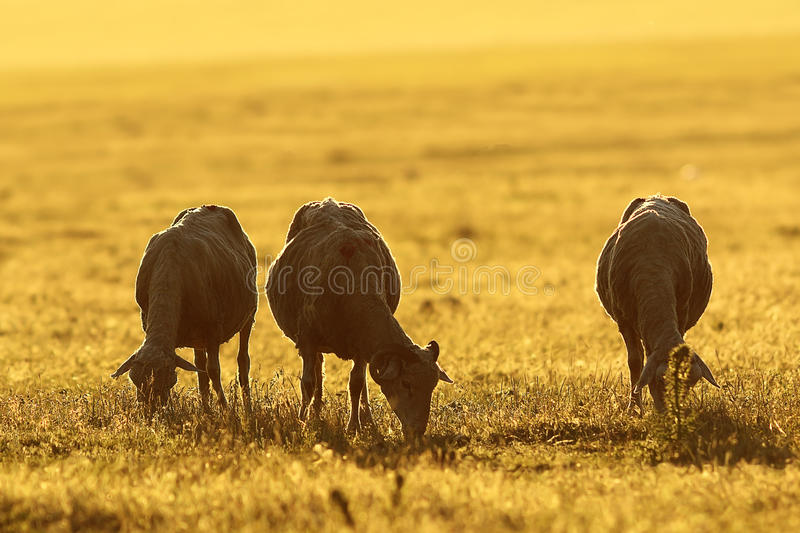 Herd of sheep grazing at dawn stock image