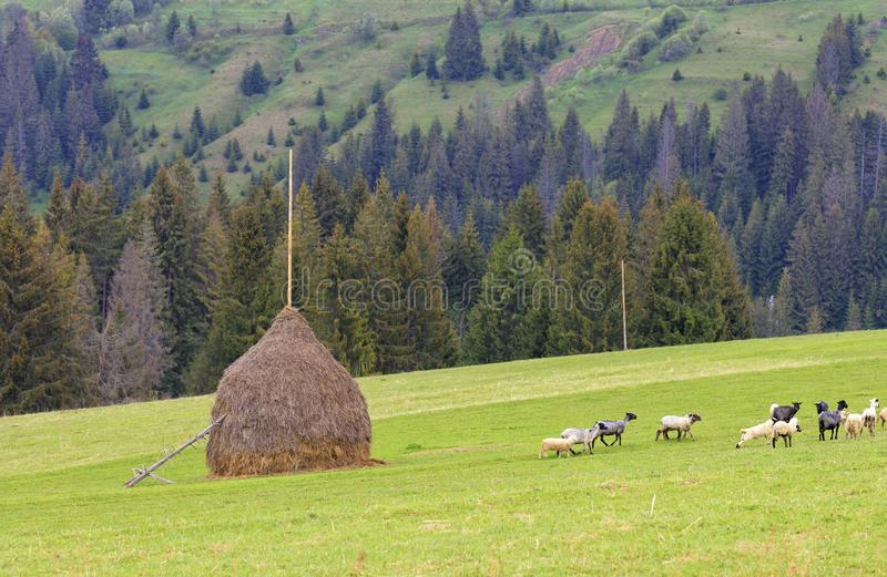 A herd of sheep grazing on a hill of mountain green meadows on a bright spring morning royalty free stock images