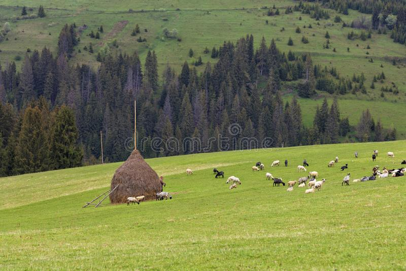 A herd of sheep grazing on a hill of mountain green meadows on a bright spring morning stock photo