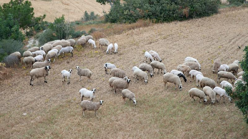 Herd of sheep grazing. In a meadow royalty free stock images