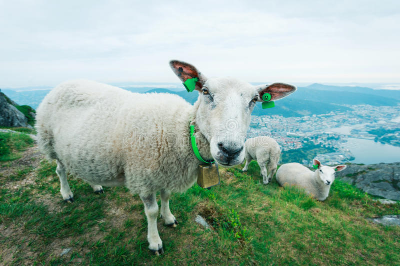 Herd of sheep grazing on mountain meadow stock images