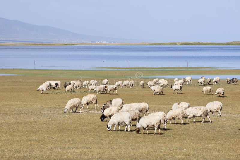 Herd of sheep grazing near Qinghai Lake. Sheeps grazing at the vast Qinghai Lake at 3000m stock photography