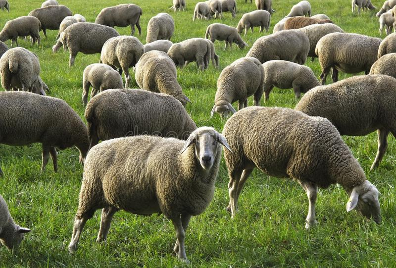 Herd, Sheep, Grazing, Pasture stock photography