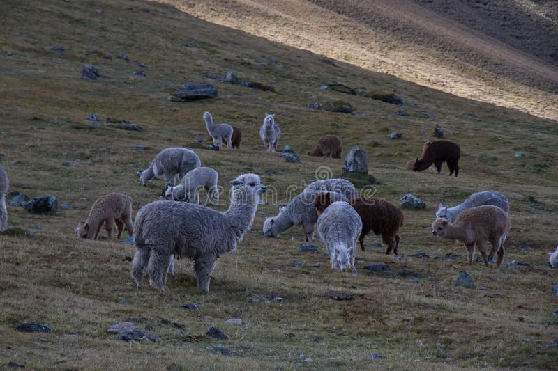 Herd Of Sheep On Green Pasture During Daytime Free Public Domain Cc0 Image