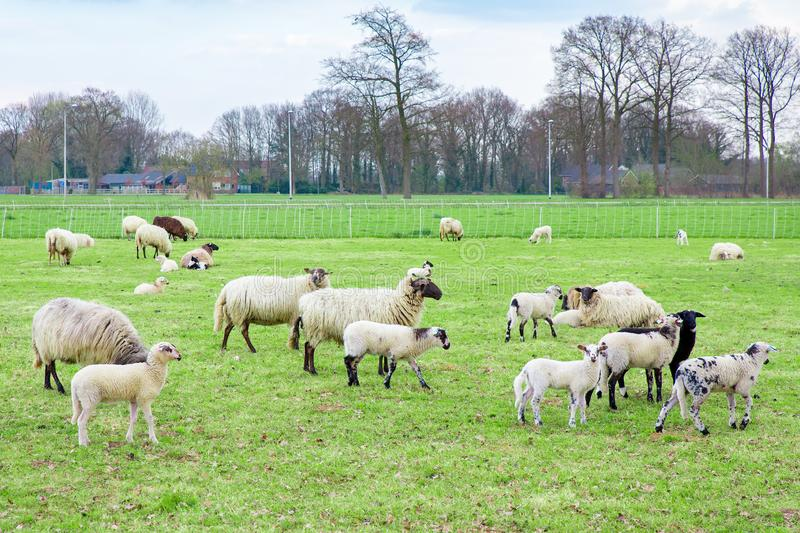 Herd of sheep with lambs in dutch meadow stock photography