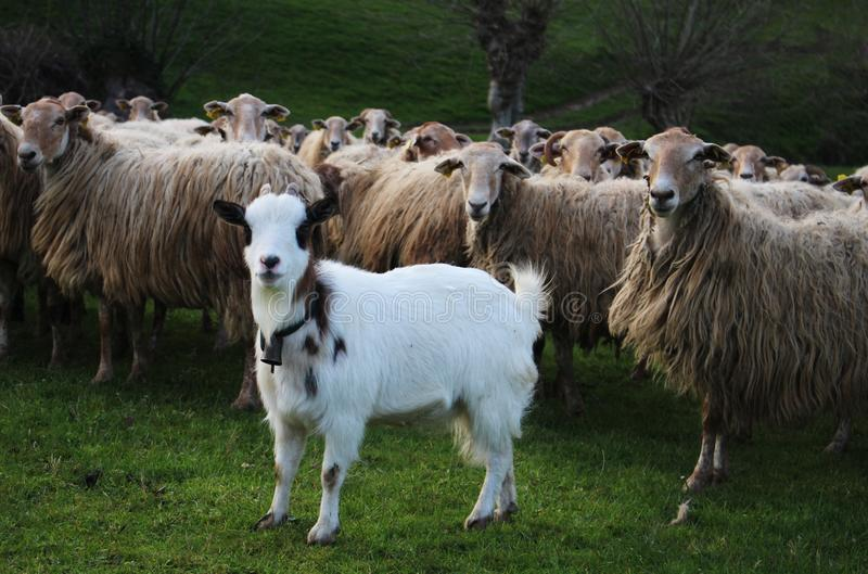 Herd, Sheep, Pasture, Grass stock images