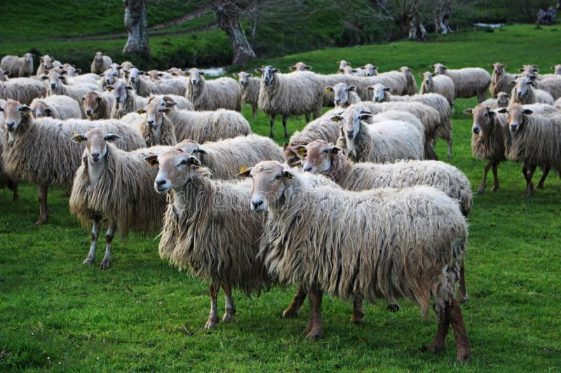 Herd, Sheep, Pasture, Grass stock photography