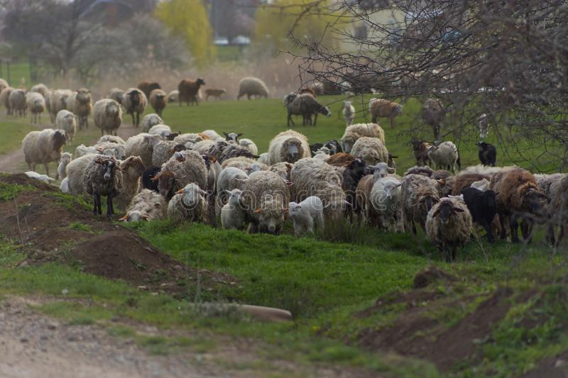 Herd of sheep and rams go on country road to pasture for eating  grass on meadow stock image