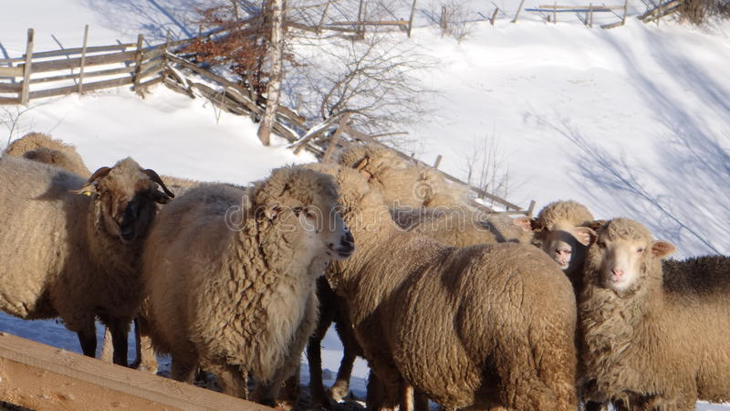 Herd of sheep in snow royalty free stock photography