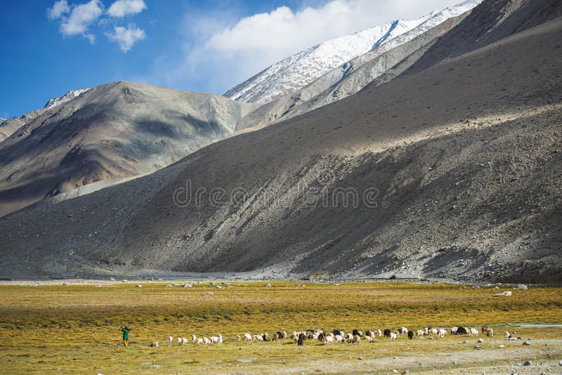 Herd of sheep and snow mountain range Ladakh ,India royalty free stock photography
