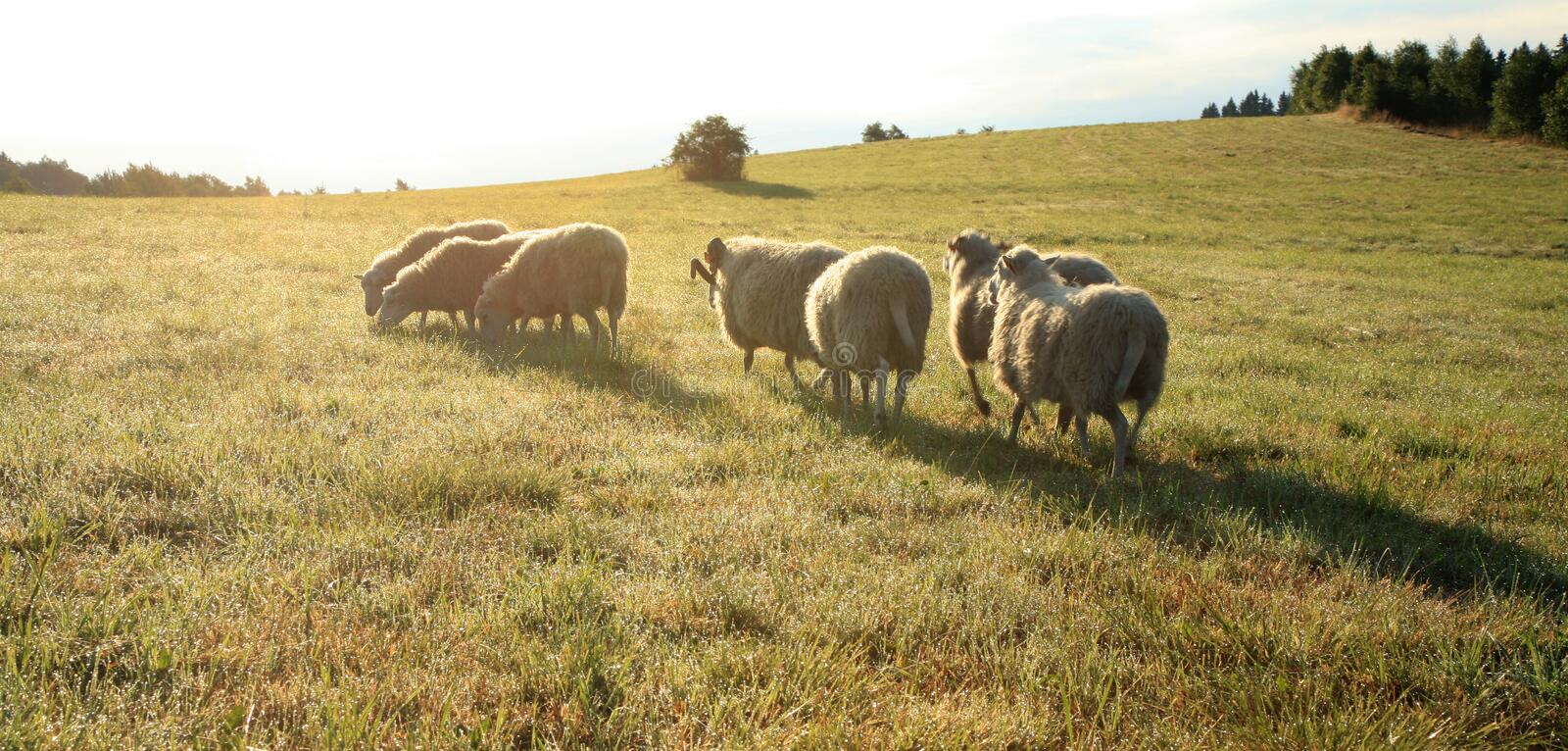 Herd of sheeps – Skudde royalty free stock photography