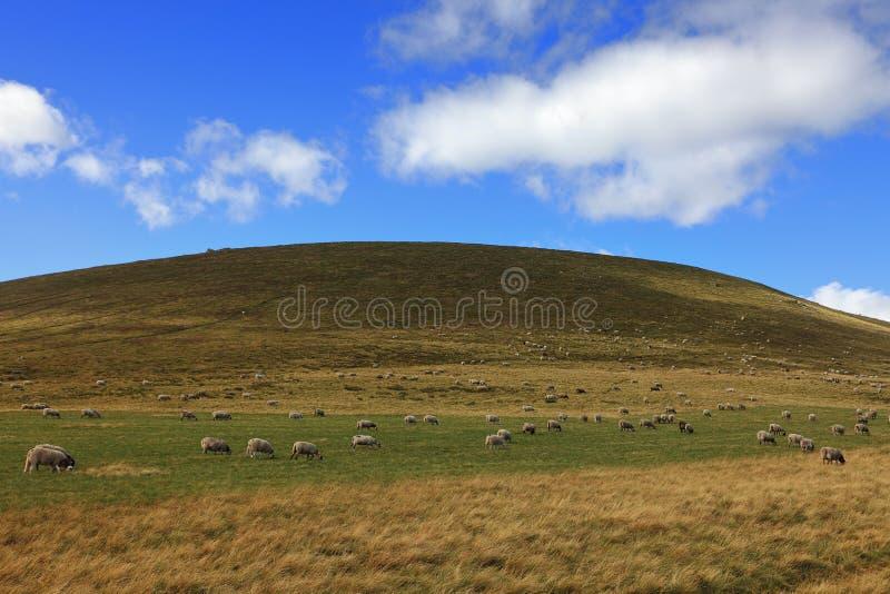 Download Herd of sheeps stock image. Image of mammals, alpine - 20970453